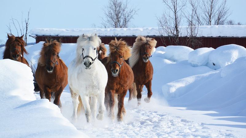 Sverige, Lappland - Vintervecka till häst ()